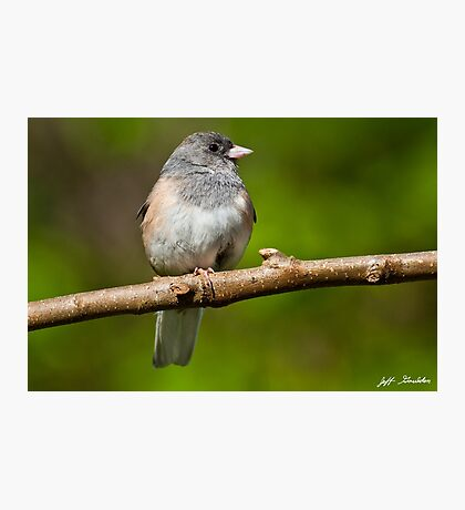 Dark Eyed Junco Perched on a Branch Photographic Print