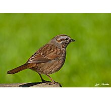 Song Sparrow on a Log Photographic Print