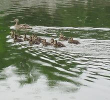 Eleven Duckling's in the Rain by Thomas Murphy