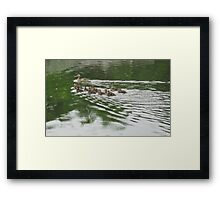 Eleven Duckling's in the Rain Framed Print