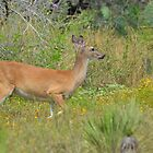 Central Texas Deer by Kate Farkas