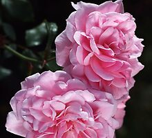 Double Delight Pink Roses by Joy Watson