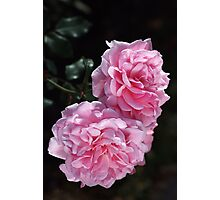 Double Delight Pink Roses Photographic Print