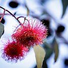 Gum Nut Blossom   by GerryMac