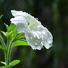 Raindrops on White Petunia  by Virginia McGowan
