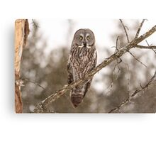 Great Grey Owl in a tree Canvas Print