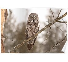 Great Grey Owl in a tree Poster