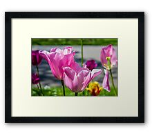 Tulips from Amsterdam Framed Print