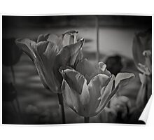 A Study of Tulips Poster