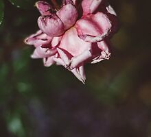 Single Pink Rose by Bethany Helzer