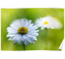daisy blossom Poster