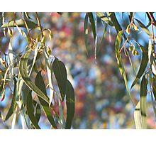 Australian Eucalypt Photographic Print