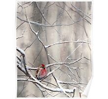 Red Bird On Snowy Branches - Winter Scene with Common Redpoll Poster