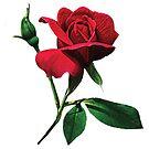 One Red Rosebud by Susan Savad