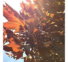Maple Lens Flare Photographic Print