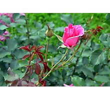 Pink roses in the garden. natural background. Photographic Print