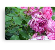 Pink roses in the garden. natural background. Canvas Print