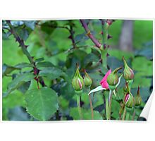 Pink roses in the garden. natural background. Poster