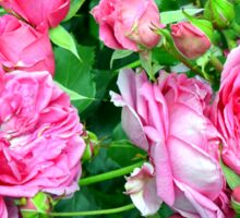 Pink roses in the garden. natural background. Sticker