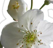 cherries in blosssom on blue serenity Sticker