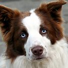 Blue Eyed Collie - NZ by AndreaEL