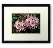 A Perfect Spring Rhododendron Framed Print