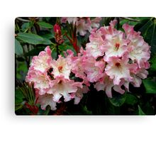 A Perfect Spring Rhododendron Canvas Print