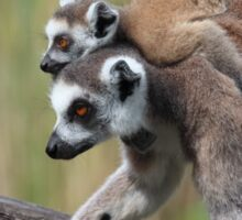 Ring-tailed Lemurs Sticker