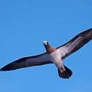 Brown Booby, Tonga by Erik Schlogl