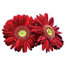 Two Red Daisies by Susan Savad