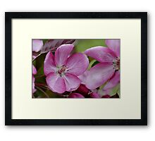 pink apple tree blossoms Framed Print