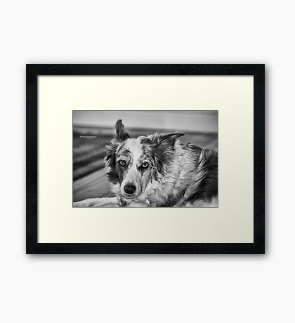 Gwennie - Merle Border Collie Framed Print