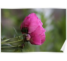 Peony blooming Poster