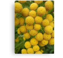 Yellow Puff Flowers Canvas Print