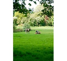 Barely Mooving, The Pair Photographic Print