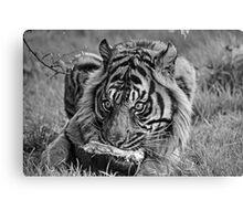 Sumatran Tiger (B&W 1) Canvas Print