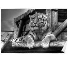 Amur Tiger (B&W 3) Poster