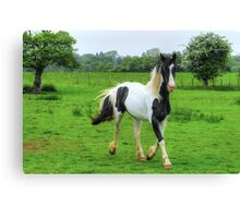 Cantering Piebald (1) Canvas Print