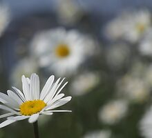 Daisies by Robert Worth