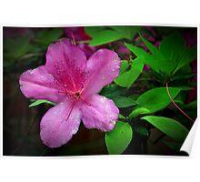 Azalea Flower Poster