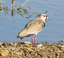Southern Lapwing by hummingbirds