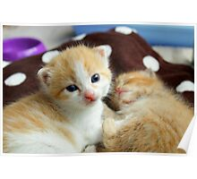 Ginger kittens Poster