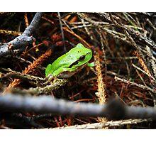 Hyla arborea Photographic Print