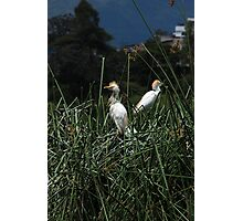 Snowy Egret Chicks on a Nest Photographic Print