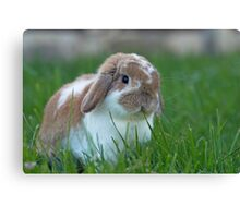 Brown and White Holland Lop Rabbit Munching on Grass Canvas Print