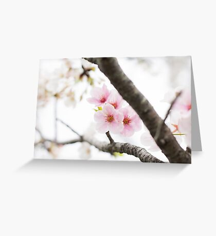 Pink Japanese Cherry Blossoms Greeting Card