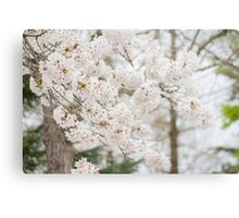 Soft White Cherry Blossoms Canvas Print