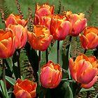 Tulips by AnnDixon