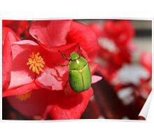 Green Beetle Clinging to a Red Flower Poster