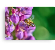 Bee descending on a lupin Canvas Print